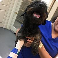Adopt A Pet :: Sheldon - Lancaster, PA
