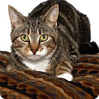 Domestic Shorthair Cat for adoption in Gloucester, Virginia - TUFFY