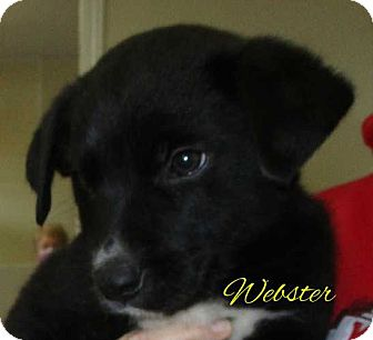 Border Collie Mix Puppy for adoption in Clear Lake, Iowa - Webster