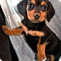 Adopt A Pet :: **NATALIE (PORTMAN) - Peralta, NM