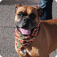 Boxer Dog for adoption in Denver, Colorado - Autumn