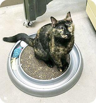 Domestic Mediumhair Kitten for adoption in Virginia Beach, Virginia - Roxy