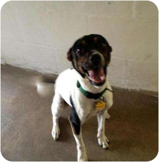 Jack Russell Terrier Mix Dog for adoption in Winter Haven, Florida - Charlie