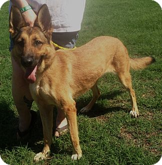 German Shepherd Dog/Belgian Malinois Mix Dog for adoption in Fort Worth, Texas - ROSEBUD