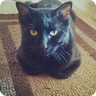 Bombay Cat for adoption in Scottsdale, Arizona - Jasper- Courtesy Post