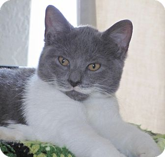 Domestic Shorthair Kitten for adoption in Seminole, Florida - Echo
