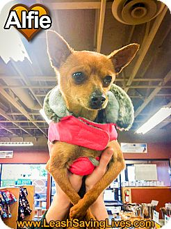 Chihuahua/Dachshund Mix Dog for adoption in Pitt Meadows, British Columbia - Alfie
