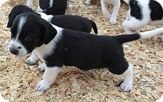 Pointer/Border Collie Mix Puppy for adoption in Seneca, South Carolina - Pebbles $200
