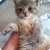 Adopt A Pet :: Tinga - Union, KY