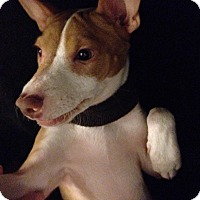Adopt A Pet :: Enchanting Eragon - Madison, NJ