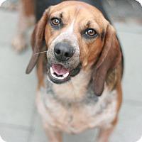 Adopt A Pet :: Chachi - Canoga Park, CA