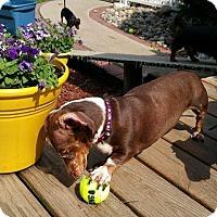 Adopt A Pet :: Paige - Marcellus, MI
