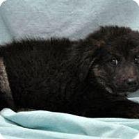 Adopt A Pet :: Hansel meet me 7/31 - Manchester, CT