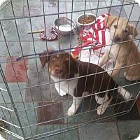 Adopt A Pet :: Sandy Adoption pending - Manchester, CT