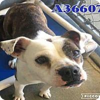 Adopt A Pet :: A366073 - San Antonio, TX