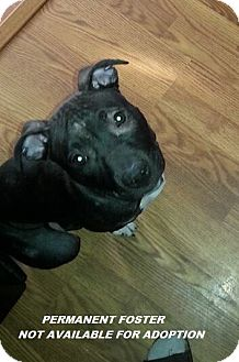 Pit Bull Terrier Mix Puppy for adoption in Wyoming, Michigan - **PF - Baby Grace