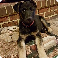 Adopt A Pet :: Prince - Morrisville, NC