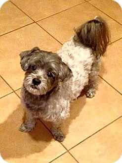 Shih Tzu/Schnauzer (Miniature) Mix Dog for adoption in Jacksonville, Florida - Beau