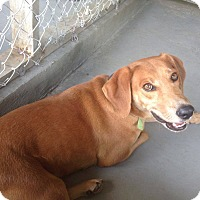 Hound (Unknown Type)/Labrador Retriever Mix Dog for adoption in Livingston Parish, Louisiana - M&M