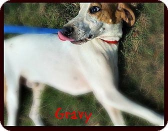 Foxhound Dog for adoption in Monroe, North Carolina - Gravy