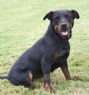 Rottweiler Mix Dog for adoption in Denton, Texas - Darla