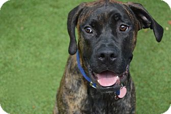 Boxer/Labrador Retriever Mix Dog for adoption in Scottsdale, Arizona - Larry Love / Jax