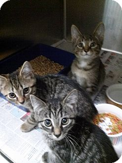Domestic Shorthair Kitten for adoption in Northfield, Ohio - The Terrific Trio!
