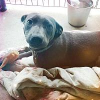 Weimaraner/Labrador Retriever Mix Dog for adoption in Odessa, Texas - Zoey