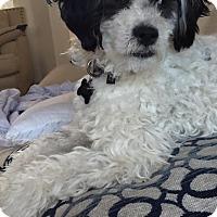 Adopt A Pet :: Teddy - North Las Vegas, NV