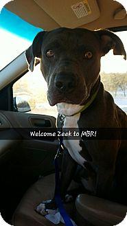 Weimaraner Mix Dog for adoption in Sioux Falls, South Dakota - Zeek