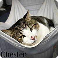 Adopt A Pet :: Chester - Melbourne, KY