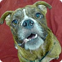 Adopt A Pet :: Diesel - Santa Ana, CA