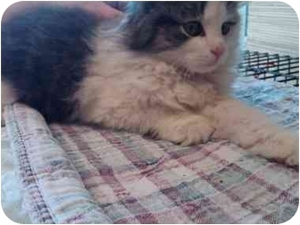 Domestic Longhair Kitten for adoption in Erie, Pennsylvania - Isabella