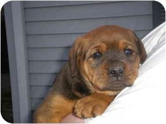 3 puppies (M) | Adopted Puppy | Newburgh, IN | Mastiff ...