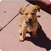 Adopt A Pet :: **FOSTER/Puppy** - San Francisco, CA