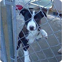 Adopt A Pet :: Spuds - CHESTERFIELD, MI