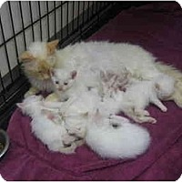 Adopt A Pet :: Mama and baby kittens - Greenville, SC