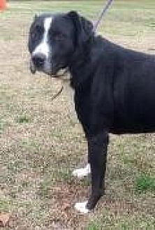 Pit Bull Terrier/Labrador Retriever Mix Dog for adoption in Summerville, South Carolina - Oreo
