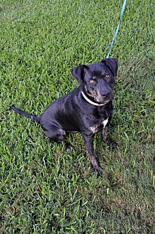 Labrador Retriever/Rottweiler Mix Dog for adoption in Houston, Texas - Sam