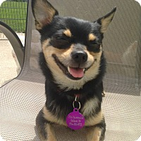 Adopt A Pet :: Beezy/pending - Elkhart, IN