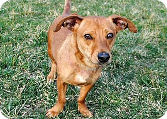 Dachshund Mix Dog for adoption in Salem, New Hampshire - SKEETER