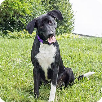 Labrador Retriever Mix Dog for adoption in Naperville, Illinois - Max