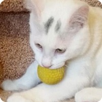 Siamese Cat for adoption in Westminster, Colorado - Kitten Shiro
