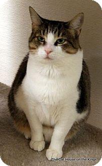 Domestic Shorthair Cat for adoption in Fresno, California - Cupcake