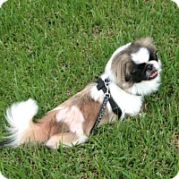 Adopt A Pet :: Yuki - Davie, FL
