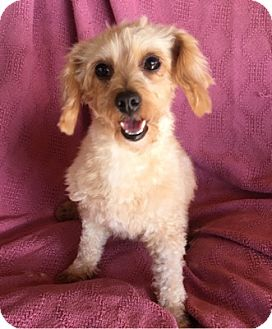Maltese/Poodle (Miniature) Mix Dog for adoption in Temecula, California - Cassie