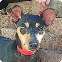 Miniature Pinscher Mix Dog for adoption in Trinidad, Colorado - Bella