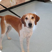 Treeing Walker Coonhound/Beagle Mix Puppy for adoption in Freeport, Florida - Drake