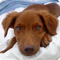 Adopt A Pet :: Bradley Petticoat - Wakefield, RI