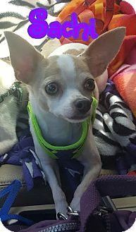 Chihuahua Dog for adoption in Wellington, Florida - Sachi